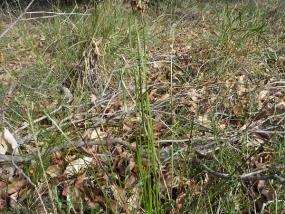 Lepidosperma squamatum