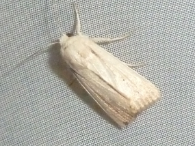Leucania sp