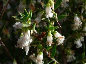 Leucopogon conostephioides