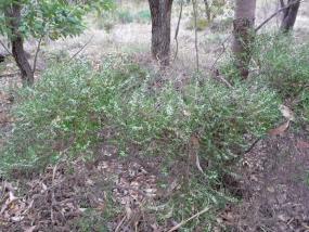 Leucopogon propinquus
