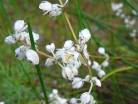 Lomandra nigricans