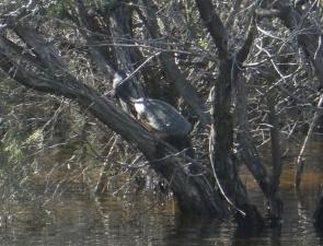 Southwestern snake-necked turtle