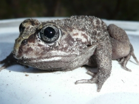 Marbled Burrowing Frog, Heleioporus psammophilus
