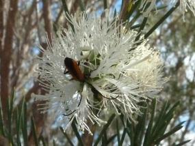 Melaleuca rhaphiophylla
