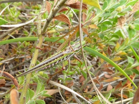 Metaballus sp 1, marauding katydid