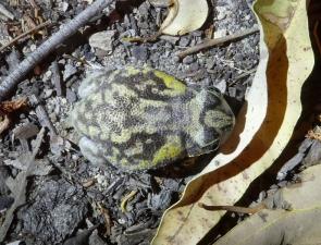 Moaning Frog, Heleioporus eyrei
