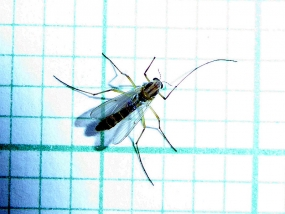 Chironomidae 2