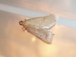 Callionyma sarcodes