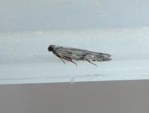 Pyralidae 3