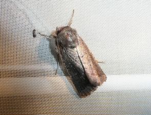 Moth 25