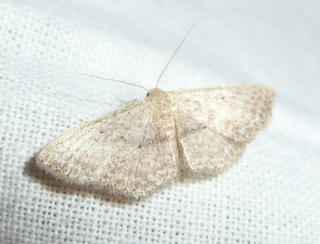 Scopula optivata