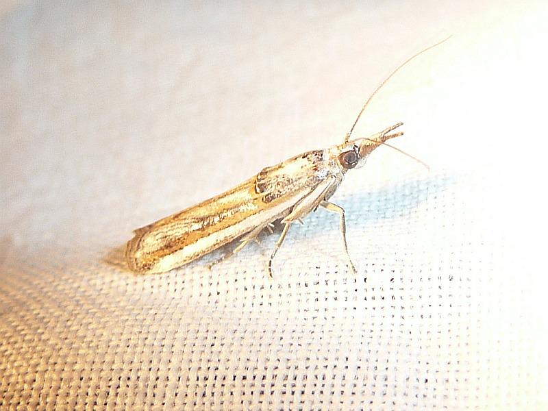 Etiella chrysoporella