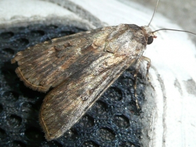 Noctuidae 1