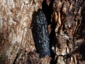Gelechiidae 1