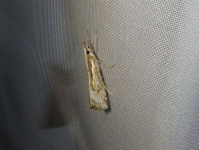 Hednota crypsichroa
