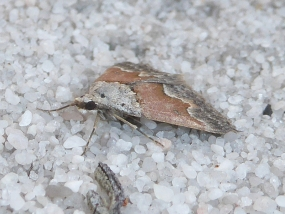 Moth 70