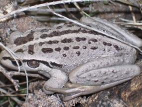 Motorbike Frog, Littoria moorei