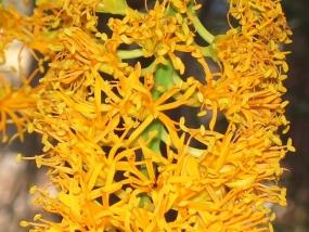 Nuytsia floribunda; WA Christmas Tree