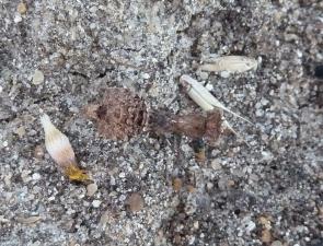 Paraoxypilus laticollis (female)