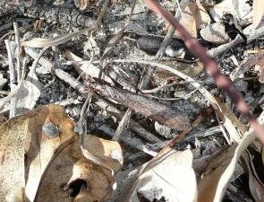 Paraoxypilus laticollis (male)
