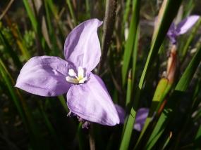 Patersonia occidentalis; Purple Flag