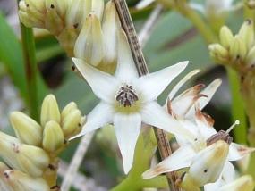 Phlebocarya ciliata