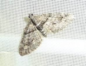 Phrissogonus laticostatus