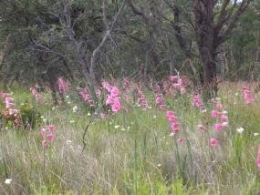 Gladiolus caryophyllaceus infestation