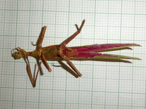 Podacanthus keyi, Key's Stick Insect