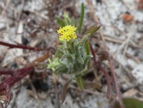 Podotheca angustifolia