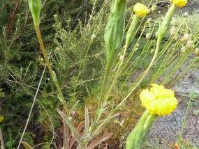 Podotheca gnaphalioides