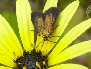 Pollanisus cupreus