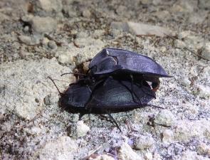 Pterohelaeus sp 1