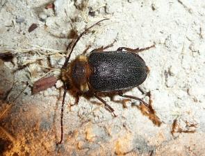 Sceleocantha pilosicollis