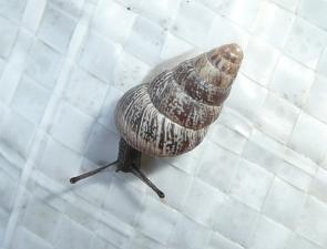 Cochlicella acuta
