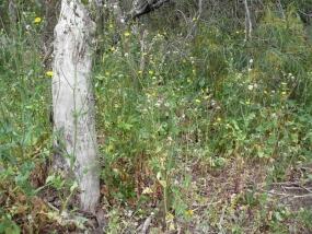 Sonchus oleraceus; Sowthistle