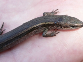 South-western Cool Skink, Acritoscincus trilineatus