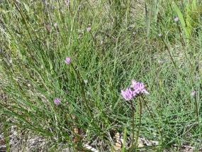 Sowerbaea laxiflora; Purple Tassels