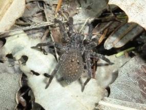 Mituliodon tarantulinus