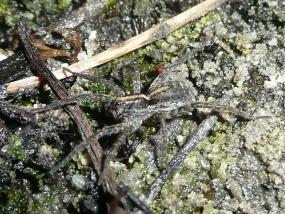 Spider 18