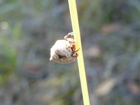 Phoroncidia sextuberculata