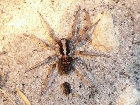 Lycosidae sp 3