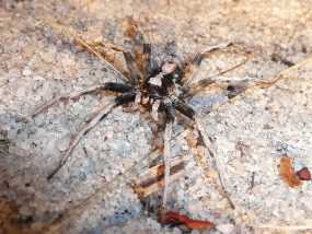 Lycosidae 8