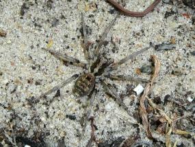 Spider 30