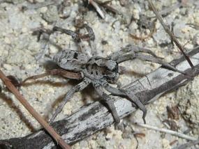 Spider 33