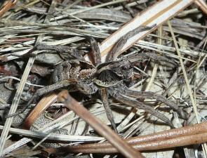 Tasmanicosa godeffroyi