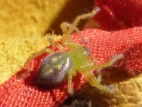 Spider 57