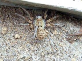 Spider 58