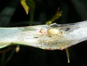 Cheiracanthium mordax