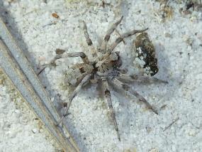 Lycosidae 10